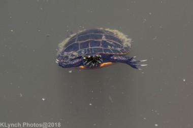 Painted Turtle_10