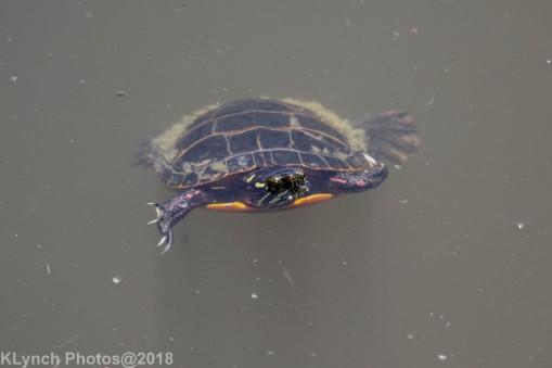 Painted Turtle_11
