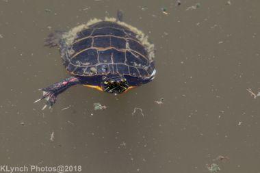 Painted Turtle_18