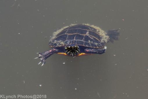 Painted Turtle_8