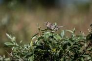 Sparrow_9