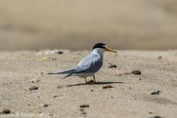 Tern_15