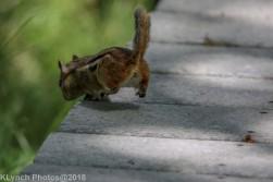 Chipmunk_3