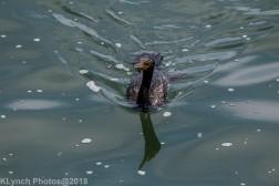 Cormorants_17