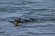 Cormorants_50