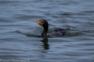 Cormorants_51