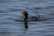 Cormorants_51