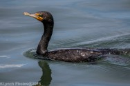 Cormorants_53