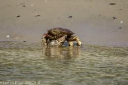 Crab_2