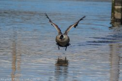 geese_13