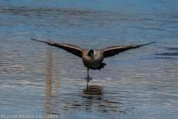 geese_14