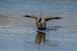 geese_15