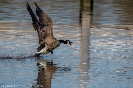 geese_2