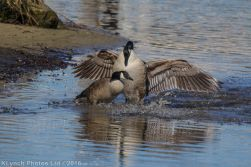 geese_21