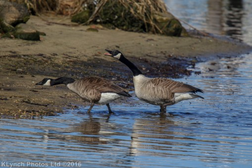 geese_38