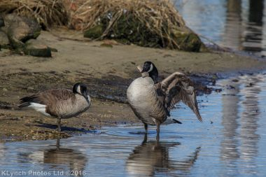 geese_43