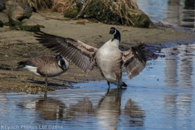 geese_47