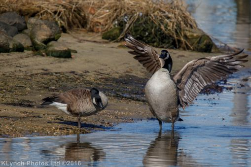 geese_50