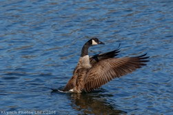 geese_62