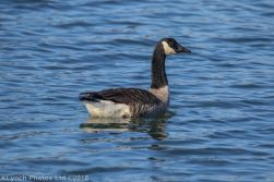 geese_69
