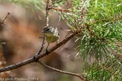 Goldfinch_2