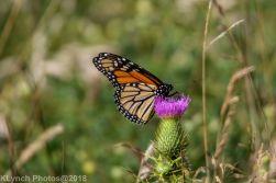 Monarch_1