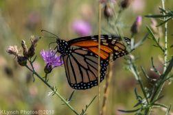 Monarch_12