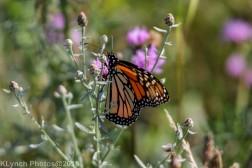 Monarch_8