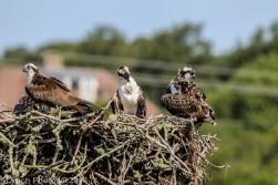 ospreys_15