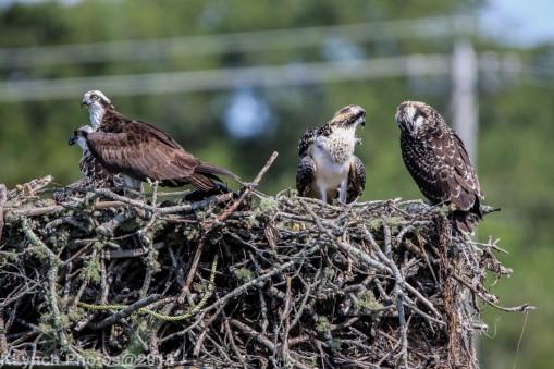 ospreys_2