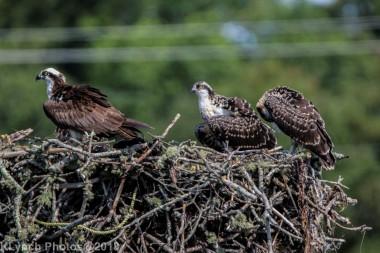 ospreys_50