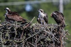 ospreys_8