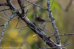 SparrowB_3