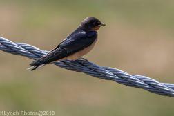 Swallow_3