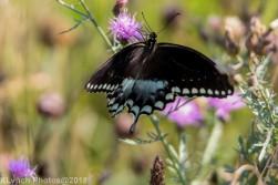Swallowtail_14