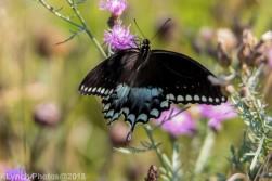 Swallowtail_15