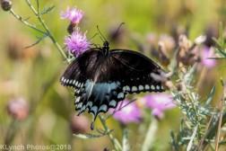 Swallowtail_17