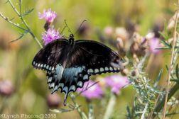 Swallowtail_20