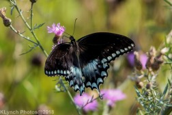 Swallowtail_27