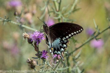 Swallowtail_28