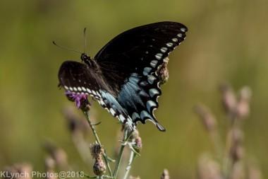 Swallowtail_29