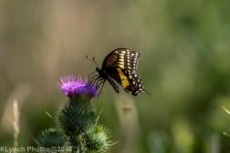 SwallowtailB_11
