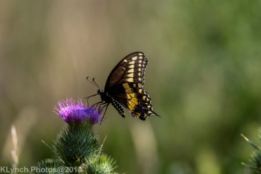 SwallowtailB_12