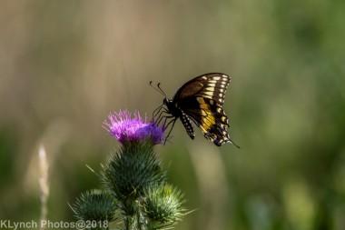 SwallowtailB_14