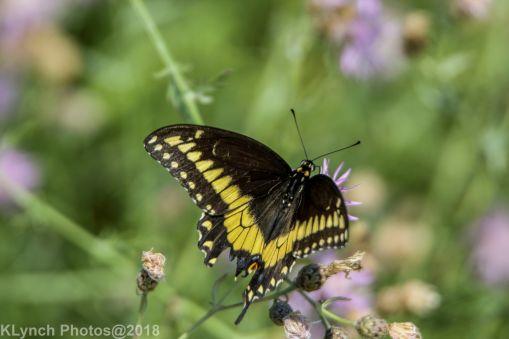 SwallowtailB_4