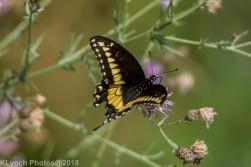 SwallowtailB_6