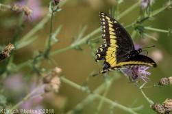 SwallowtailB_7