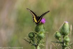 SwallowtailB_8