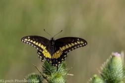 SwallowtailB_9