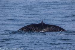 Whale_100